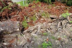 亀杉の残骸
